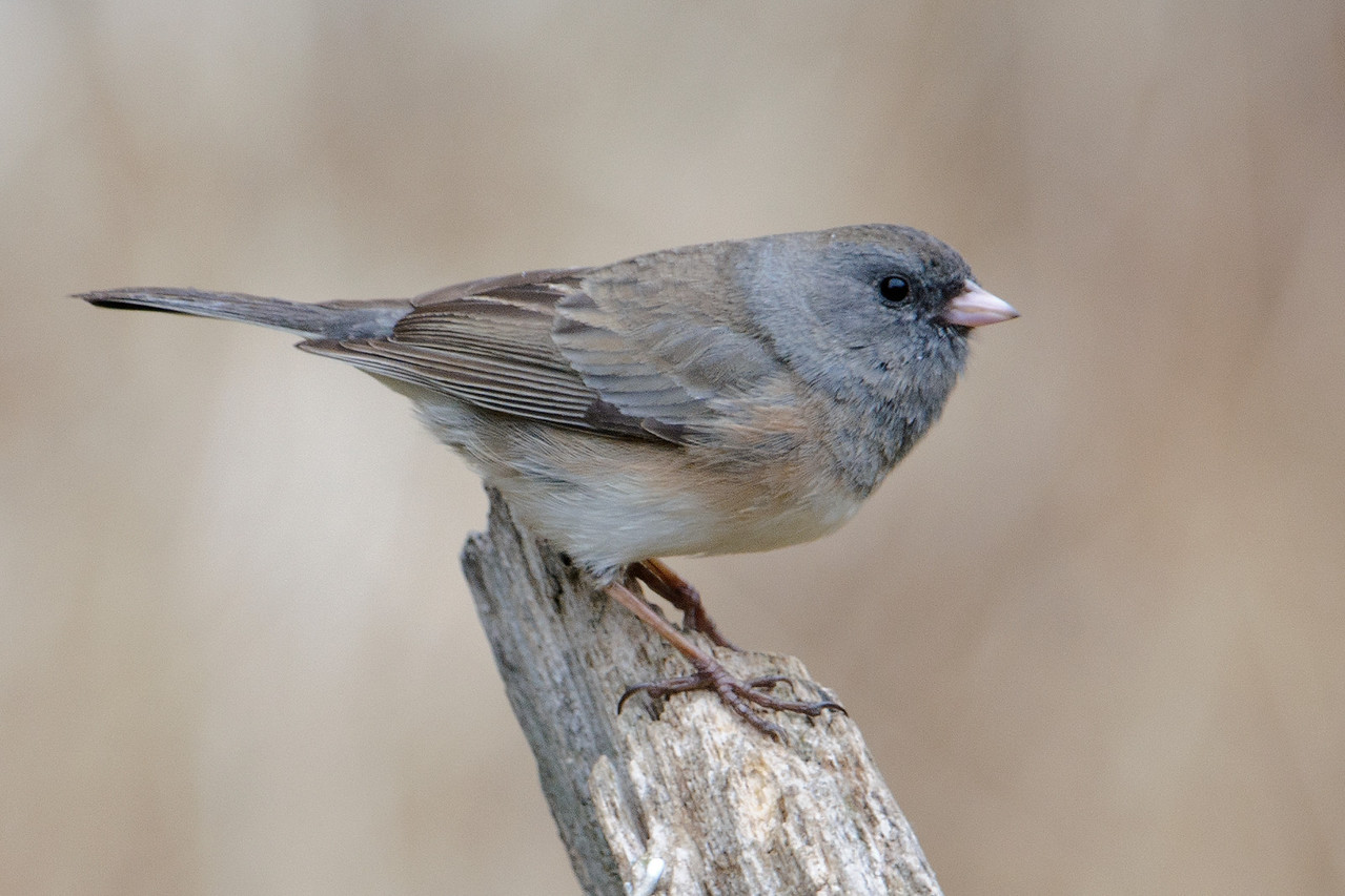 This is a female Junco.  There is a lot of variation in the color of their plumage but they are lighter than the males and have some combination of gray and brown feathers.