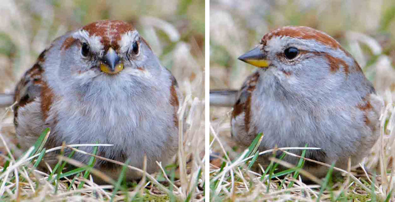 """Mug shots"" of birds often produce some interesting contrasts between the front and side views.  This is an American Tree Sparrow.  It's moving through our area to its nesting grounds in the northern half of Canada.  Note the bi-colored bill; dark on the upper mandible and yellow on the lower.  The front view makes me think it's eating a kernel of corn."