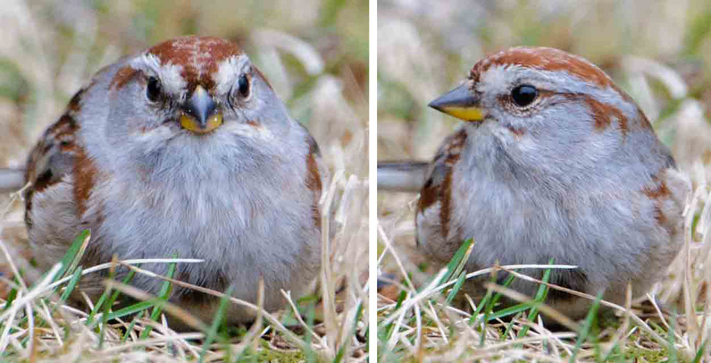 """""""Mug shots"""" of birds often produce some interesting contrasts between the front and side views.  This is an American Tree Sparrow.  It's moving through our area to its nesting grounds in the northern half of Canada.  Note the bi-colored bill; dark on the upper mandible and yellow on the lower.  The front view makes me think it's eating a kernel of corn."""