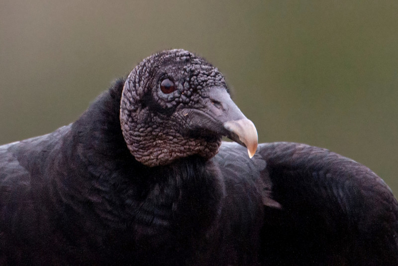 """To complete my set of """"no respect"""" birds, I've chosen a close-up of a Black Vulture.  Even though many people look down on them, vultures perform a valuable service by cleaning up dead animals.  Their feather-less heads look kind of strange but are easier to clean after poking around in a carcass.  This photo was taken at Three Rivers WMA."""