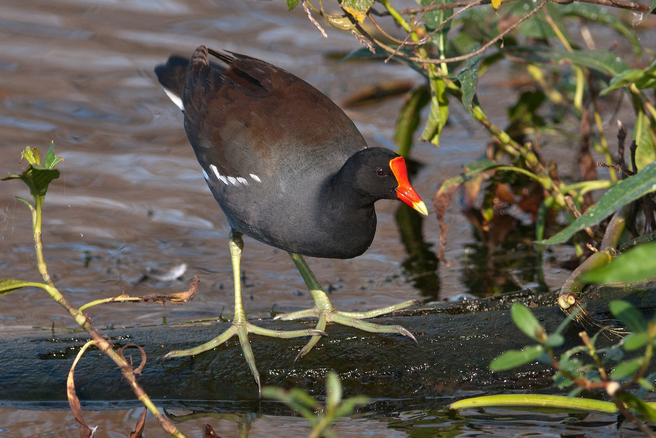 This bird, which used to be called a Common Moorhen, just had its name changed to Common Gallinule.  It's related to the American Coot but is not as bold and aggressive.  Those huge, un-lobed feet spread its weight over a large area so it can walk on top of water lily leaves.  This species is very adaptable and is found in the marshes of five different continents.