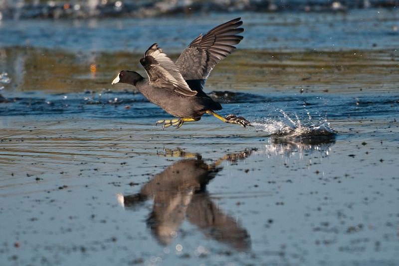 Coots are relatively heavy so they need to run along the water, flapping like crazy, to get airborne.  I caught this one just before it took off.  Huge flocks of Coots are often seen during migration.  Both Coot photos were taken at Lake Toho in Kissimmee.