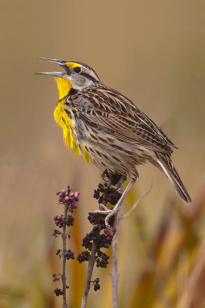 Here are a few more photos from the workshop I attended near Kissimmee, Florida.  We found this Eastern Meadowlark singing in a grassy field at Three Lakes WMA.  True to their name, they are seen over the whole Eastern half of the United States but also inhabit the desert southwest as far as Arizona.  Western Meadowlarks are very similar in appearance but have a different song.