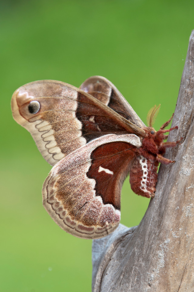 I was surprised to find the Promethea Moth still clinging to the driftwood the next morning.  So, I took some more photos in the daylight. Notice the large body on this moth.