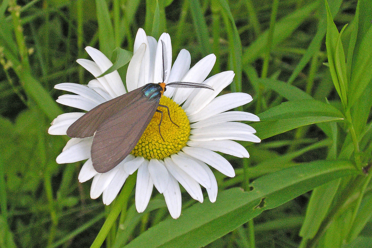 Here's a photo of the adult Virginia Ctenucha moth.  I took this several years ago in our yard.  Most moths are active at night but this one is seen during the day.