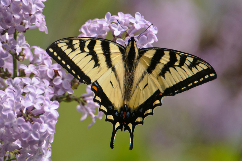 Tiger Swallowtails were also attracted to the lilacs.  According to our butterfly book, this is likely to be a Canadian Tiger Swallowtail.  Eastern Tiger Swallowtails are also found in Minnesota but only in the southern half of the state.  Both species have wingspans of 3 – 4 inches, about the same as Monarchs.