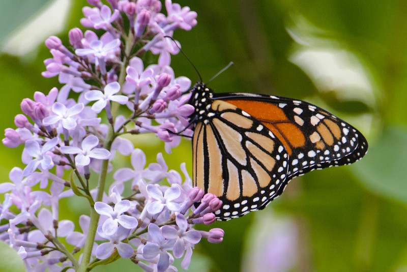 A few weeks ago, when the lilacs at our home in northern Minnesota were blooming, the flowers attracted several species of butterflies.  Here's a Monarch feasting on the nectar from the lilacs.