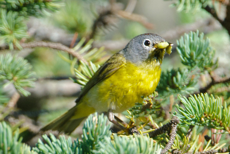 The person who gave the Nashville Warbler its name first saw one near Nashville, Tennessee.  However, the bird was just passing through during its migration to nesting territory in the northeastern United States and southeastern Canada.  There's also a population that nests in the west coast states.  Nashville Warblers build their nests on the ground, hiding them in the tall grass or among the ferns.  During the winter, most of them are found in Mexico.  You can just barely see the chestnut colored feathers on the top of this bird's head; they are usually difficult to see in the field.