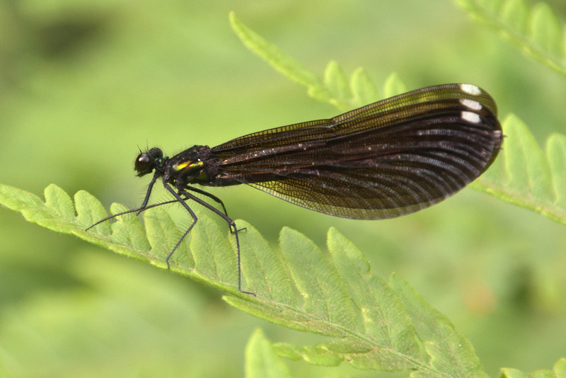 Here are a few more photos from our recent trip to Grand Marias, MN.  Most damselflies are pretty inconspicuous; they are small, with clear wings, and easy to overlook.  So, this Ebony Jewelwing really caught my eye when it flew into view.  The white spots on the wings identify it as a female.  The male is all black.  It prefers to be along small to medium-sized forest streams which are common in the northeastern part of Minnesota.