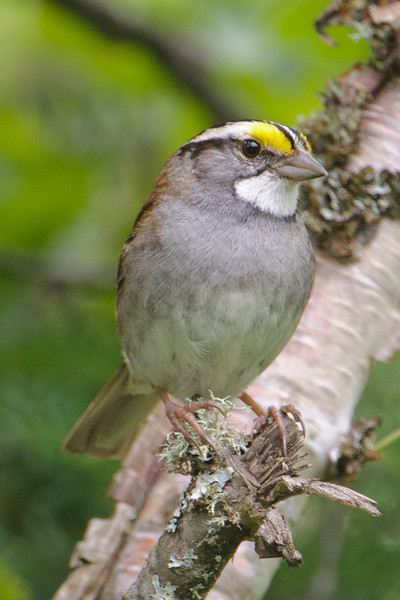 White-throated Sparrows are common nesters in the woods of northeastern Minnesota.  I think they are one of our prettiest sparrows.  You can certainly see how they got their name.