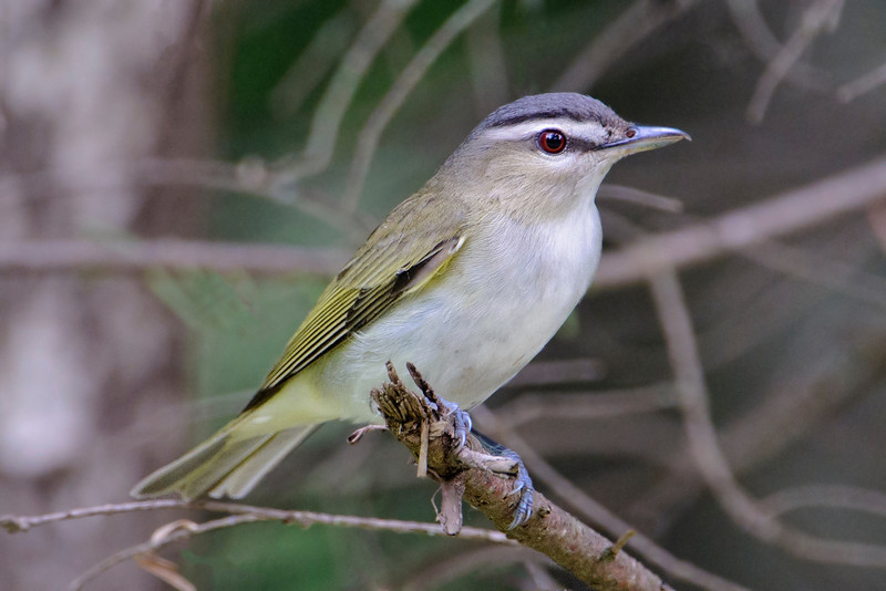 The Red-eyed Vireo is aptly named.  This is a bird that likes to stay high in the trees.  It has a pretty monotonous call and seems to sing ALL THE TIME!  We are often awakened at dawn (5:00 a.m. here in northern Minnesota) by the call of this bird.  We also hear it all day long, during most of the summer.  I often wonder when it takes time out to eat.