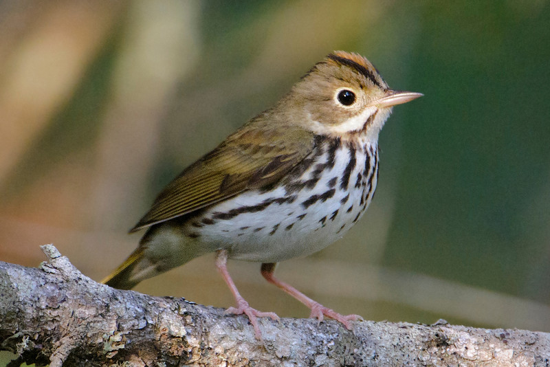 "Here's an Ovenbird, another ""skulker.""  They are difficult to see, but their ""teacher, teacher, teacher"" call is quite loud and common in the same dense wooded areas as the Veery.  They build their nests on the forest floor.  The nests are dome-shaped with an entrance on the side, making them look like an old-fashioned oven.  That's how these birds became known as Ovenbirds."