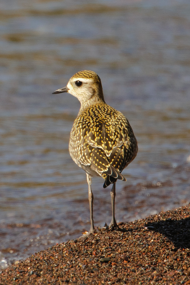This is the plover that has me stumped.  It was clearly browner and more golden than the other two.  Some of my reference books indicate that juvenile Black-bellied Plovers can be this color; however, that can also be true of American Golden-Plovers.  On the other hand, the wings on this bird extend quite far beyond the tail and that would indicate an American Golden-Plover.  I know, only the birders who see these pictures care about that much detail.  I would be interested in hearing from anyone who has an opinion about the identification of these birds.