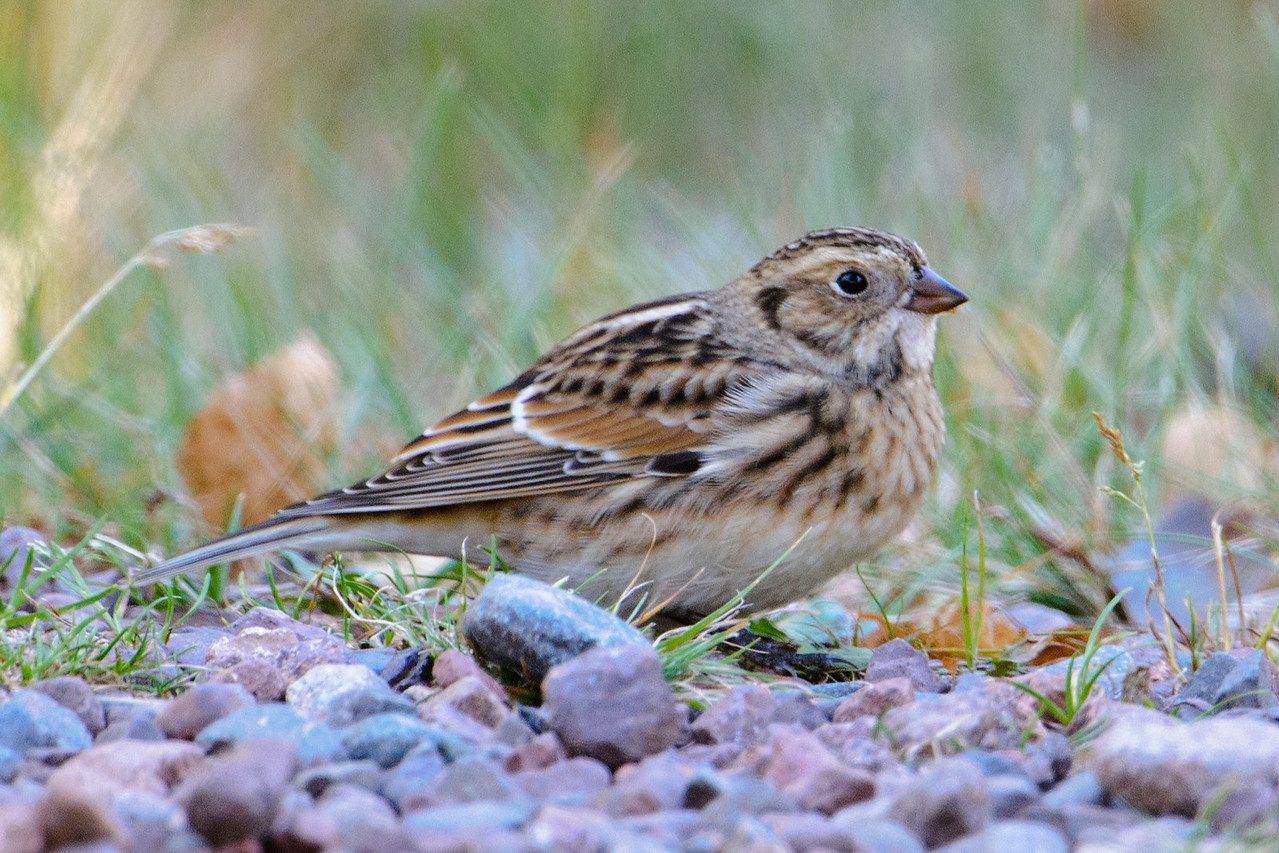 Fall migration is well under way; many birds migrate along the shore of Lake Superior.  This Lapland Longspur was one of the birds who stopped at the resort on its way south.  It was picking up seeds along the road.  Lapland Longspurs breed on the tundra, the far northern areas of North America.  During the winter they are found all across the central regions of the United States.