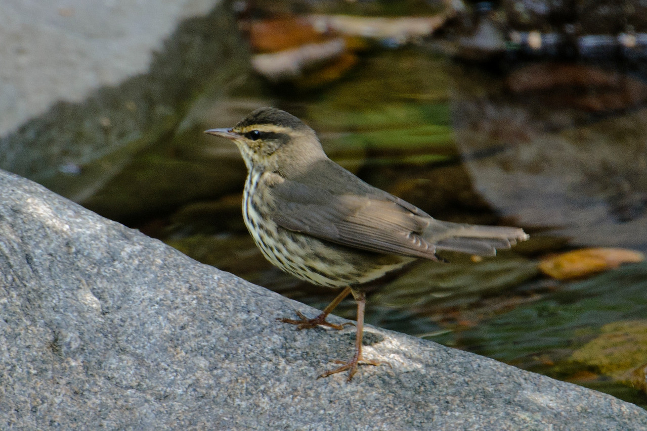 The Little Marais River runs through the resort property and empties into Lake Superior.  This Northern Waterthrush was foraging among the rocks in the river bed.  Their favored habitats are lakeshores and slow moving streams.  Identification was easy because it was displaying the typical Waterthrush behavior of constantly bobbing its tail.