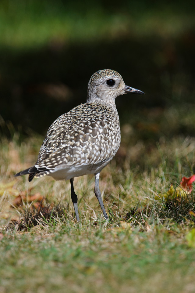 One of the plovers was also feeding in the grass on the grounds of the resort.  These plovers are about 11 inches long.  Both species nest in the far northern tundra areas of North America.