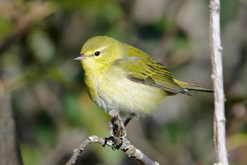 Tennessee Warblers are quite plain looking and don't change much from breeding to non-breeding plumage.  When birders in our area see a very plain-looking warbler, it helps them narrow the identification down to either Tennessee or Orange-crowned Warbler.