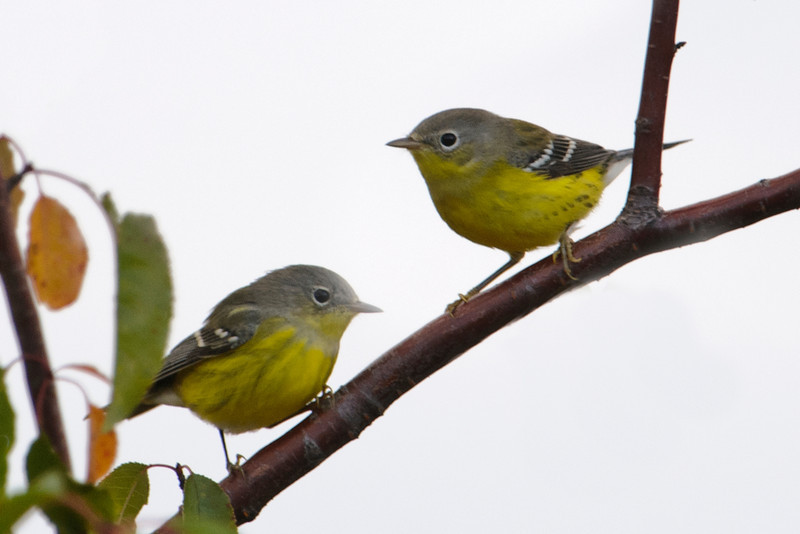 "By next spring, these two first-year Magnolia Warblers will have attained their breeding plumage and will look like the one at this link: <a href=""http://www.earlorfphotos.com/Birds/Birds-6/5691621_Sn7DRM#!i=1996221105&k=bHz2RLq"">http://www.earlorfphotos.com/Birds/Birds-6/5691621_Sn7DRM#!i=1996221105&k=bHz2RLq</a>"