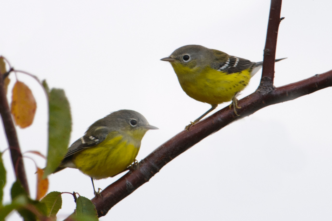 """By next spring, these two first-year Magnolia Warblers will have attained their breeding plumage and will look like the one at this link: <a href=""""http://www.earlorfphotos.com/Birds/Birds-6/5691621_Sn7DRM#!i=1996221105&k=bHz2RLq"""">http://www.earlorfphotos.com/Birds/Birds-6/5691621_Sn7DRM#!i=1996221105&k=bHz2RLq</a>"""