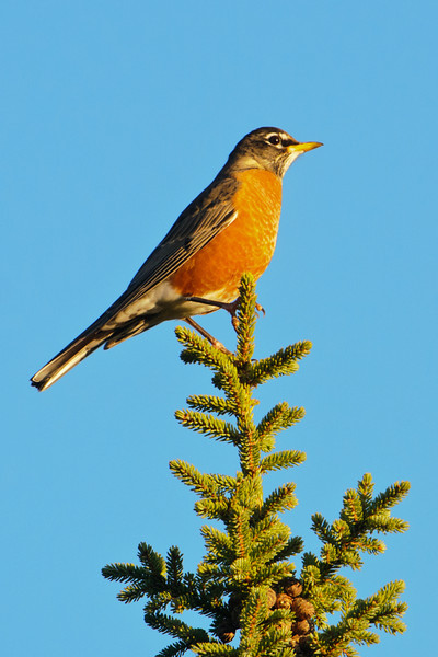 During the fall, American Robins start to form flocks which eventually migrate to warmer parts of the country.  This robin was part of a flock I found along the General Grade Road, a gravel road that intersects with Lake County Road 1 between Isabella and Finland, MN.