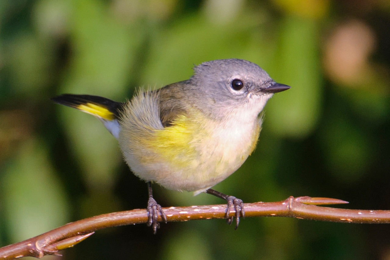 This female American Redstart was photographed at the Silver Bay Marina.