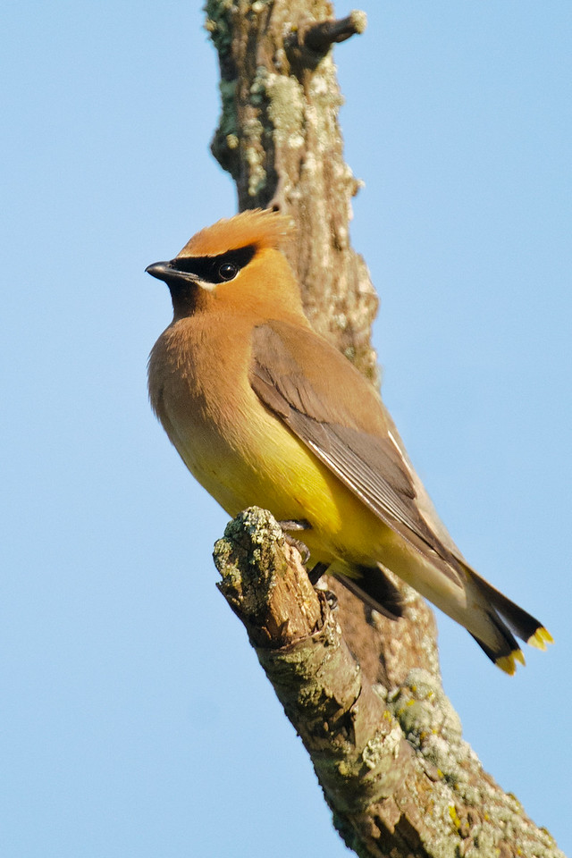 This Cedar Waxwing was in a flock feasting on berries along County Road 325.  That's typical of this species: they are very gregarious and berries make up a large part of their diet.  At various times of the year they can be found throughout the United States and the southern half of Canada.
