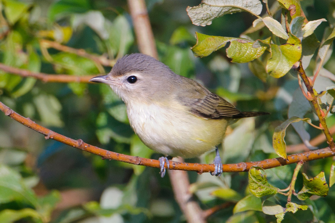 """Here's a plain-looking bird called a Warbling Vireo.  It's found all across the United States and western Canada, but unless you are a fairly serious birder you probably haven't noticed it.  In fact, most birders hear its song before they see the bird. (There's a reason the word """"warbling"""" is in its name.)  It also stays high in the tree tops and the plain plumage is good camouflage."""