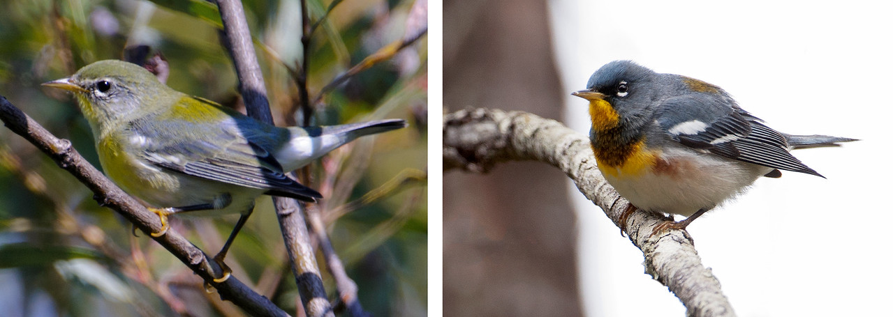 Both of these photos show a Northern Parula, a bird included in the warbler family.  The photo on the left, a first year Northern Parula, was taken the same morning as the other photos in today's set.  The photo on the right was taken in the spring, showing the fresh breeding plumage of this species.  This is not the only warbler that looks much different in the fall than it does in the spring.  Such variations are very frustrating for beginning birders.