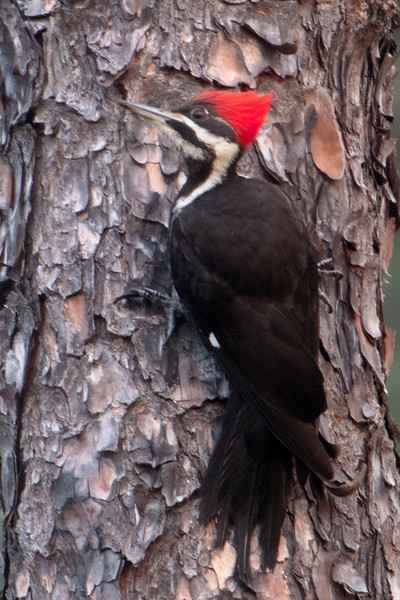 During the time we were in Florida this winter, I made several trips into the Apalachicola National Forest.  On one of those trips, I was able to photograph this Pileated Woodpecker near the small town of Sumatra.  Males and females look very much alike but the male has a red stripe running from the bill to the neck and the female has a black stripe.  So this is a female.