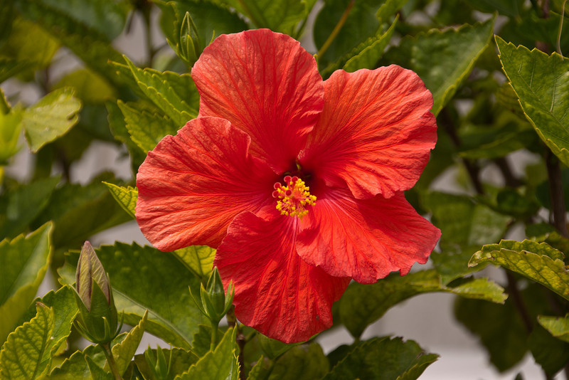 Outside the office of Collins' Vacation Rentals on St. George Island is a Hibiscus bush covered with beautiful red blossoms.  To a Minnesotan like me, seeing a blooming bush outside in the winter months is a real treat.