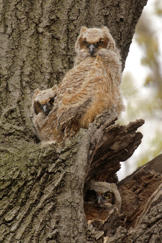 One of my photographer friends, Shirley Doyle, took me to Silverwood Park in New Brighton, MN and showed me a huge tree with a Great Horned Owl nest in it.  Only two juvenile owls were perched out in the open at that time.  Our office is near the park so I came back later in the afternoon and all three owlets were visible.  The one in the bottom right corner is sitting at the entrance to the nest hole.