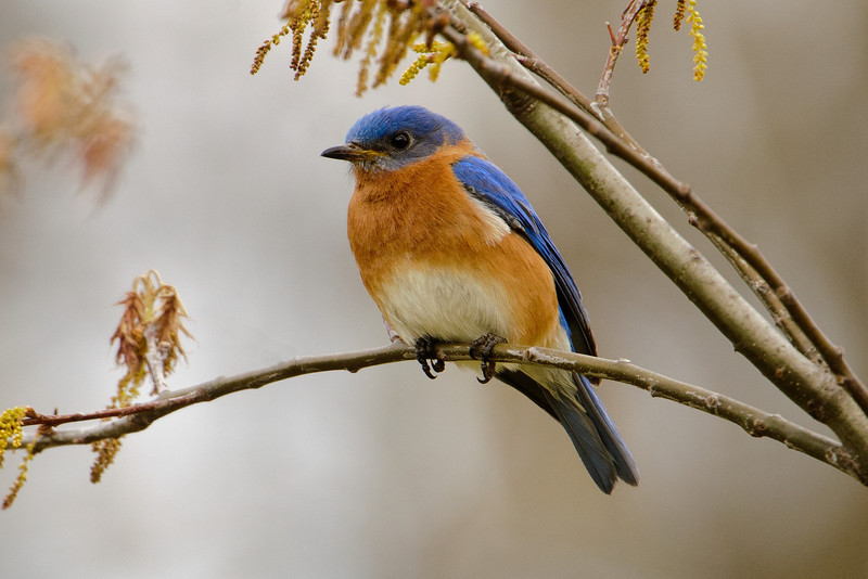 I also saw this male Eastern Bluebird at Silverwood Park.  He was perching in a tree and flying down to catch insects.