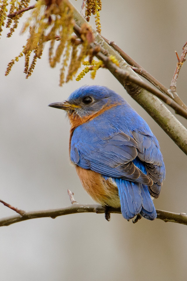 Here's a photo showing the sky blue feathers on the Bluebird's wings, back, and tail.