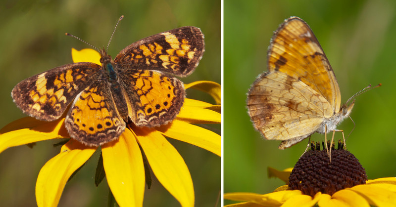 We have a wildflower area in our yard that is popular with the butterflies.  One common visitor is the Northern Crescent.  It's a fairly small butterfly with a wing span of 1 – 1½ inches.  On the left, you see the pattern of the upper wings and on the right, the underwings.  The flower is a Black-eyed Susan.