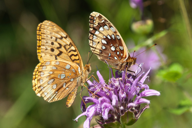 This purple flower is Wild Bergamot and we have two nice patches of it this year.  It seems especially attractive to Great Spangled Fritillaries.   We've often seen a dozen of these large butterflies feeding on the Bergamot.  The one on the left has the usual coloring for this species and the one on the right is a less common form called Krautwurm's Fritillary.  <br /> <br /> The wings of a butterfly are covered with scales.  As they brush against things, some of the scales are lost.  Note the smudgy look of the wings of the butterfly on the left.  This one looks like it is well worn.