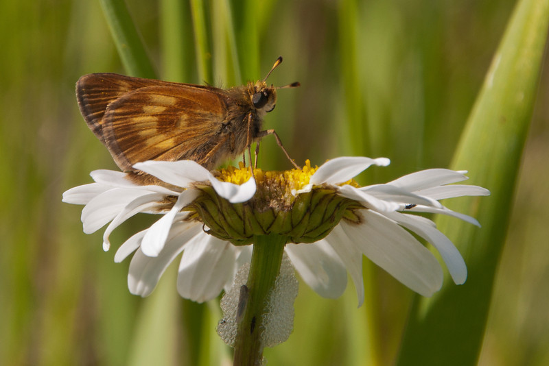 This is a Long Dash Skipper on an Ox-eye Daisy.  It's found throughout the northern United States and southern Canada.  The wingspan is 1¼ to 1½ inches.  This photo was taken at Paradise Beach along the North Shore of Lake Superior.