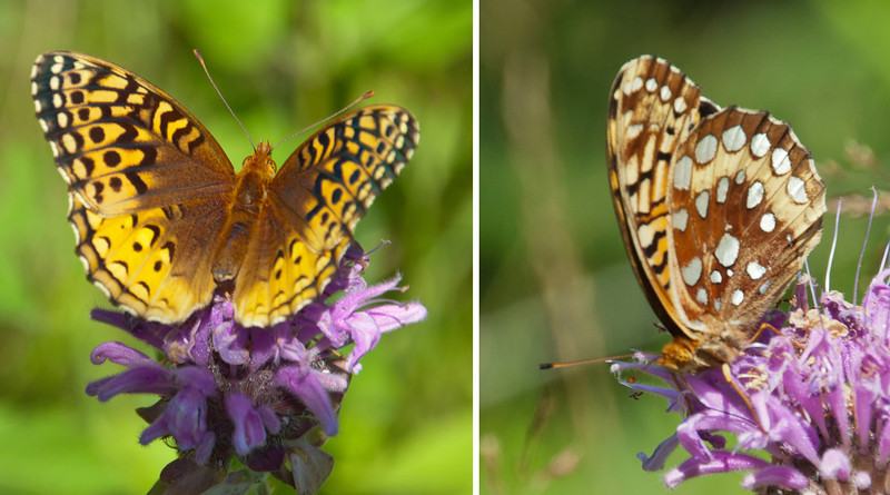 Here's a better look at a Krautwurm's Fritillary.  In general, it is darker than the more common form and also yellowish rather than orange.  The wingspan of these butterflies is 2½ to 3½ inches.