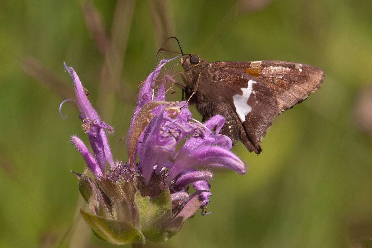 Here's a Silver-spotted Skipper.  With a wingspan of 1¾ to 2½ inches, it's one of the larger skippers in our area.  In the book Butterflies of the North Woods, it looked like we were north of the range for this skipper.  Maybe the range is expanding to include Itasca County.