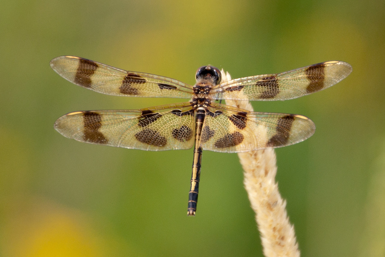 This summer I've been able to add to my collection of dragonfly photos.  Here's a female Halloween Pennant.  She has yellowish wings with brown stripes, a yellow stripe down her abdomen, and yellow stigma (the spots near the front tip of each wing).  The male is similar, but he is orange in places where the female is yellow.  The male's orange and brown color pattern is the basis for the Halloween part of the name.  This photo was taken near Cohasset, MN.