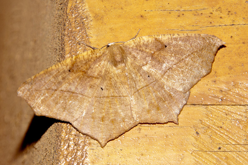 The last photo for today shows a Large Maple Spanworm moth (not to be confused with the Maple Spanworm moth or the Lesser Maple Spanworm moth).  True to its name, it is large, with a wingspan up to 2 inches.  It can be found over the eastern two-thirds of North America from Nova Scotia to Florida, west to Texas, and north to Alberta.