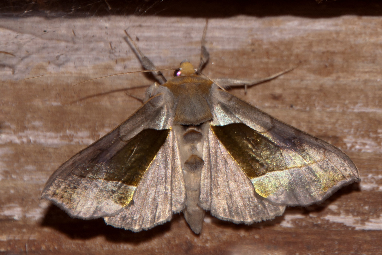 The Hologram Moth is also known as the Green-patched Looper Moth.   It has a wingspan of 45 mm (just less than 2 inches.)  It does have green patches on the forewings but it also has an array of shiny metallic areas on the wings.  Depending on the angle of the light, they can be gold, silver, copper, or brass colored.  This is a very pretty moth.  In Canada it's found from Nova Scotia to Manitoba.  In the United States, its range extends south to Pennsylvania and west to Minnesota.
