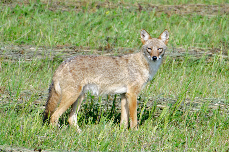 Two weeks ago, as I was driving from northern Minnesota back to the Twin Cities, I spotted this Coyote in a mowed field.  I was in Kanabec County driving on Hwy 65.  It was a surprise to see it right out in the open during the day.  I turned around and parked next to the field so I could take some photos.  The Coyote seemed as curious about me as I was about it.