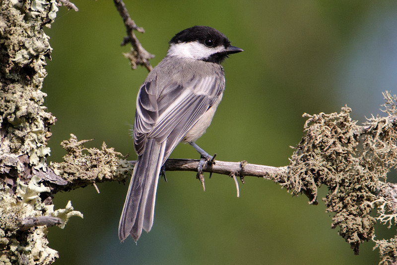 Black-capped Chickadees are very common in our area.  During summer, they disappear from our feeders and move into the woods to build their nests and raise their young.  They're starting to come back to the feeders now.  During winter, we'll probably have about a dozen of them flitting around eating sunflower seeds.