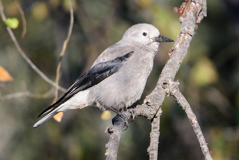This is a Clark's Nutcracker and it's very unusual to see one in Minnesota.  In fact, I was told that the last one seen in the state was 7 years ago.  This one was discovered by someone I met on a birding workshop last spring.  It was less than 2 miles from our apartment in Shoreview, so I had to go see it.  It stayed in the same area for at least a week and was seen by many birders in the metro area.  The bird might still be around because every week or so someone reports seeing it.  Clark's Nutcracker's are found in the western mountains so this one is far from home.  The species was named after Captain William Clark of Lewis and Clark fame.  At 12.5 inches it's a little bigger than a Blue Jay.