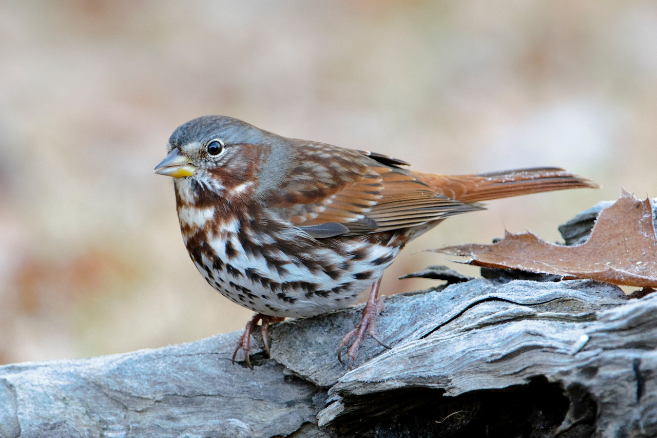 Our largest sparrow is the Fox Sparrow.  Its name refers to the reddish color of the wings and tail.  We don't always see them during migration but this year we got lucky and had several at our feeders.