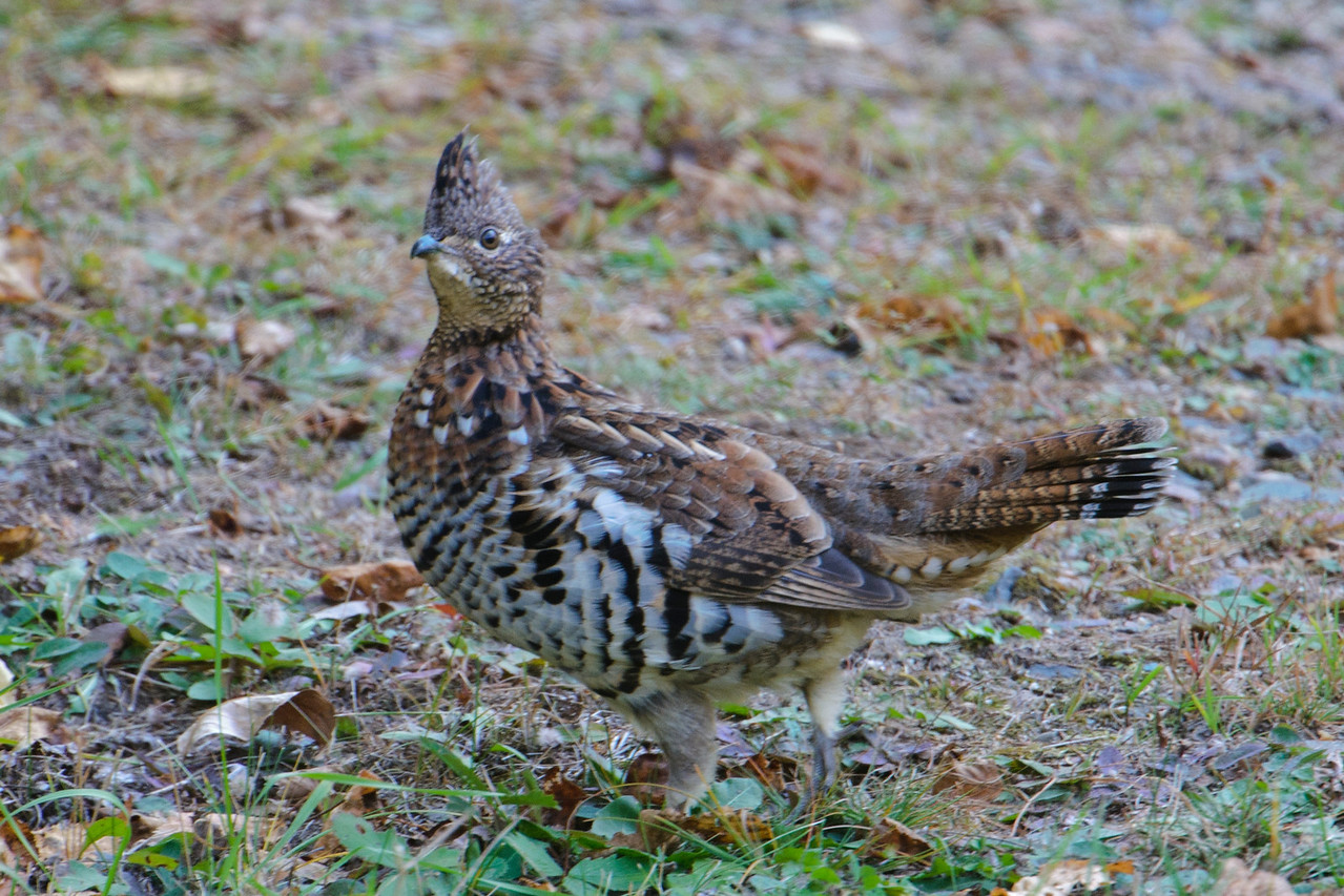 Because I had so many photos from the North House Folk School workshop, I've fallen behind in sharing the ones from this fall.  Here is a Ruffed Grouse that was walking around the back yard of our home in northern Minnesota.  It's a popular game bird and the population has cyclical ups and downs, but there are always some of them around.  Notice how the bird's plumage helps it blend into the surroundings.