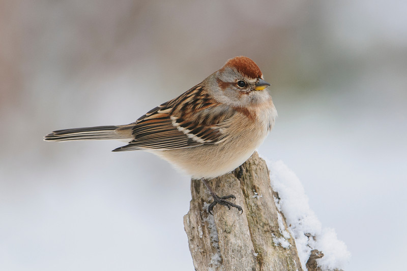 Here's an American Tree Sparrow.  It showed up just after an early snow storm.  They nest farther north than most sparrows:  at the tree line or even on the tundra.  They also tend to winter a little farther north than most sparrows.  I've seen them in the Minneapolis/St. Paul area in January.  They have a clear white to tan breast and belly, with a small dark spot (just visible in this photo), on the breast.  They also have a bi-colored bill; the upper mandible is dark and the lower one is yellow.
