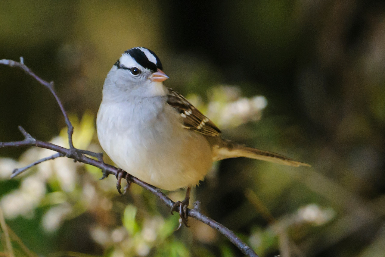 White-crowned Sparrows are another migrant that we see in spring and fall.  Their migratory habits are similar to Juncos.  I think they are one of our prettiest sparrows.  The bird is actually gray/white underneath; the golden color in this photo comes from the early morning light.