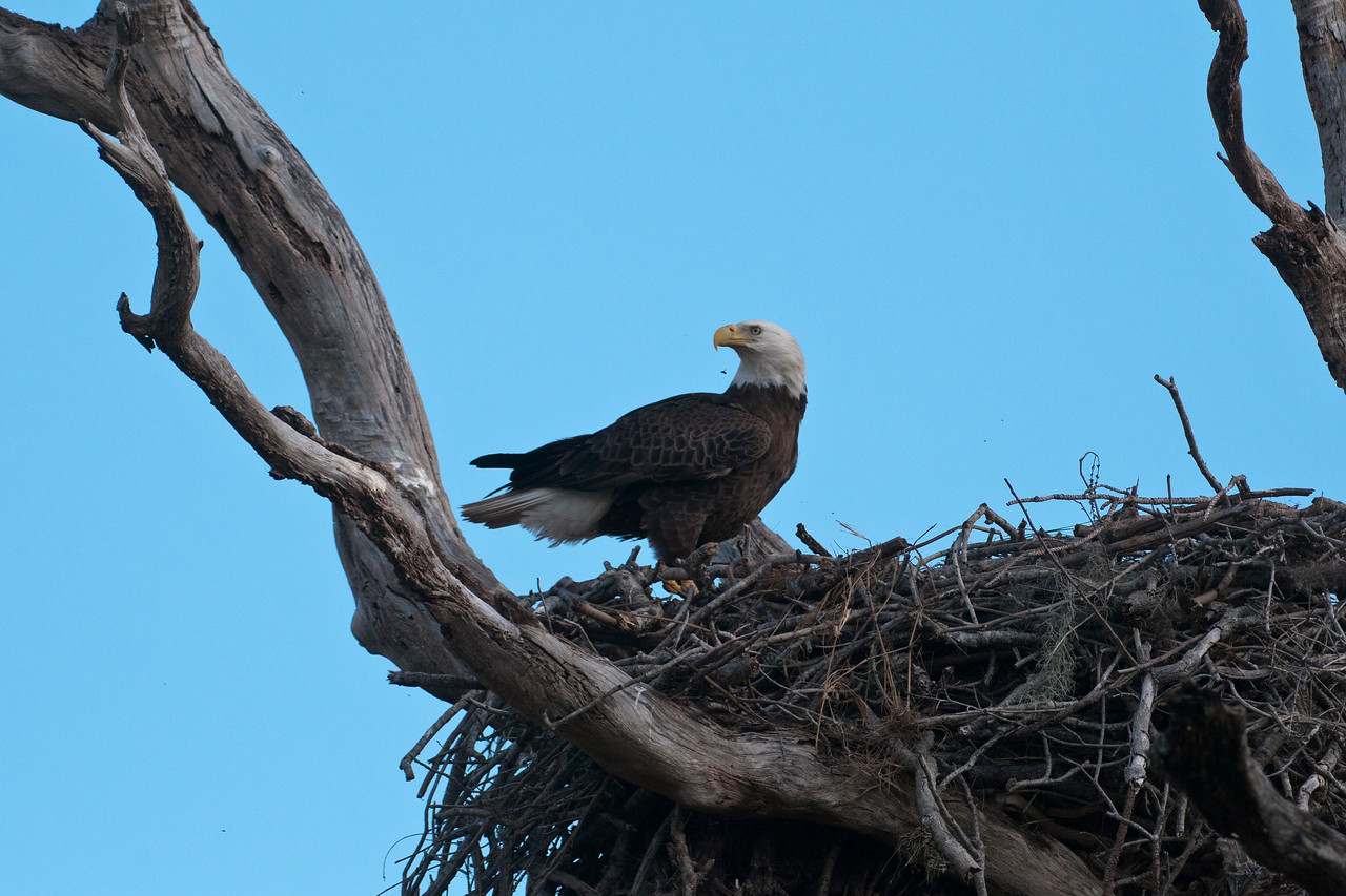 I attended a photography workshop in Kissimmee, FL, and was able to get some close shots of a Bald Eagle nest.  This nest was only about 50 feet from a well-traveled road and the Eagles were not bothered by people being around.  Eagle nests can be huge and I was close enough that I couldn't get the whole thing in one frame.  Imagine the size of an Eagle, though, and you get an idea of how big this nest is.  The tiny black speck just below the Eagles beak is a fly.  I'm sure there are plenty of things in an Eagle nest that will attract flies.