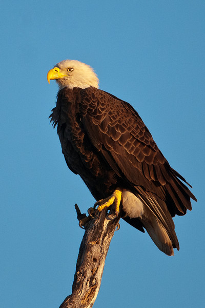 This adult is perched right over the nest, keeping a close eye on the baby Eagle.